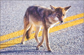 LWer who lost her dog to a coyote urges residents to be alert